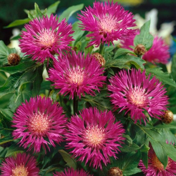 Pflanzen-Kölle Flockenblume rosarot, 11 cm Topf.  Rosarotblühende Bienenstaude mit grau-grünem, gefiederten Laub. Winterharte Staude für Stein- und Bauerngärten, Heidegärten oder Rabatten.