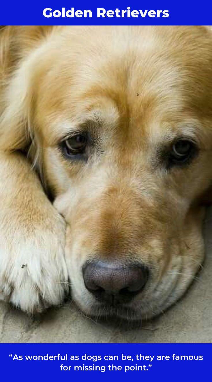 Golden Retriever Puppies Goldenretrieverpuppy