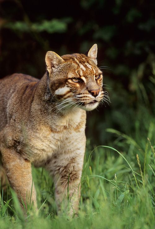 """Asian golden cat (Pardofelis temminckii).  Some countries use the name """"firecat"""" for the animal due to its reddish-brown, and sometimes sandy-gold, coloring. Officials are unsure just how many of these creatures remain in the wild. The golden cat is thought to be under threat in much of its range from deforestation and loss of habitat and this coupled with the pressures of hunting for its pelt has led the cat to be listed in CITES Appendix 1."""