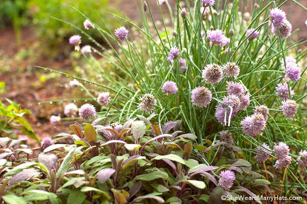 Helpful tips for starting a culinary herb garden and a list of herbs to begin with.
