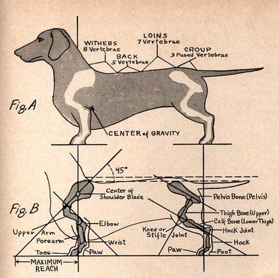 Dachshund Conformation, by Kaye Dore, was originally published in The Favorite Issue, a supplement to The American Dachshund, April, 1953. Source http://dachshundlove.blogspot.com/2008/08/dachshund-conformation-101.html
