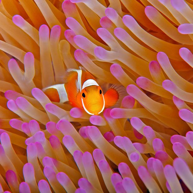 A false clown anemonefish shelters among the tentacles of a sea anemone at Misool Eco Resort on Batbitim Island in Southern Raja Ampat, West Papua, Indonesia