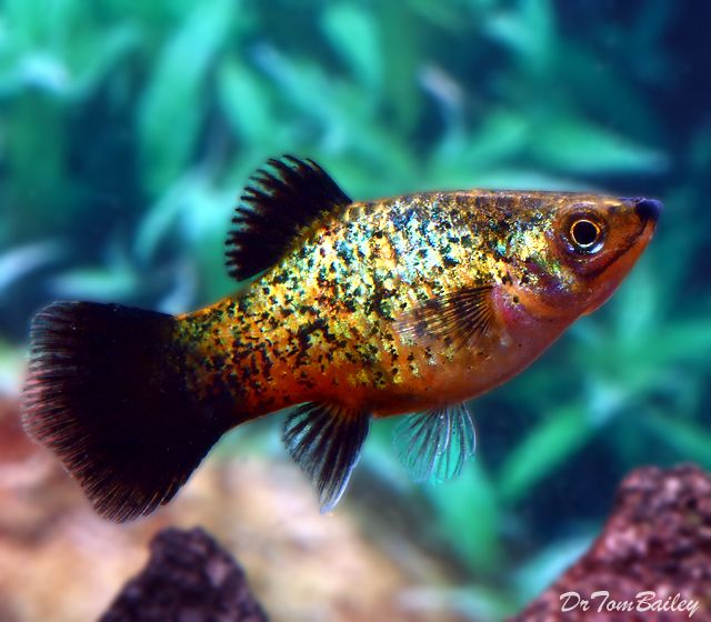 Gold Dust Platy-we have several amazing hybrids of this strain
