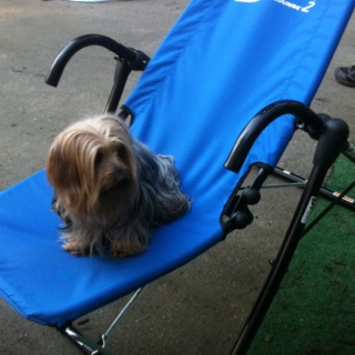 Yorkie Vs Ab Lounger