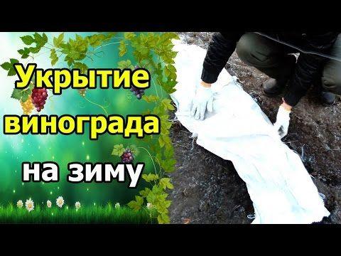 Метод Буррито (Бурито) – необычный способ размножения винограда. Укоренение черенков винограда. - YouTube