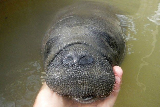 They have the cutest faces in the history of faces. | 19 Reasons Manatees Are The Absolute Best Creatures In The Galaxy