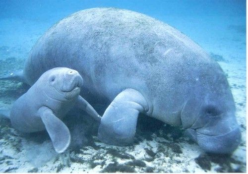 ( Manatee Mother & Calf ) * * GOOD GUYS ! STAY NEAR THE BOTTOM. LEARN MORE ON THE ' 18 FACTS ' !