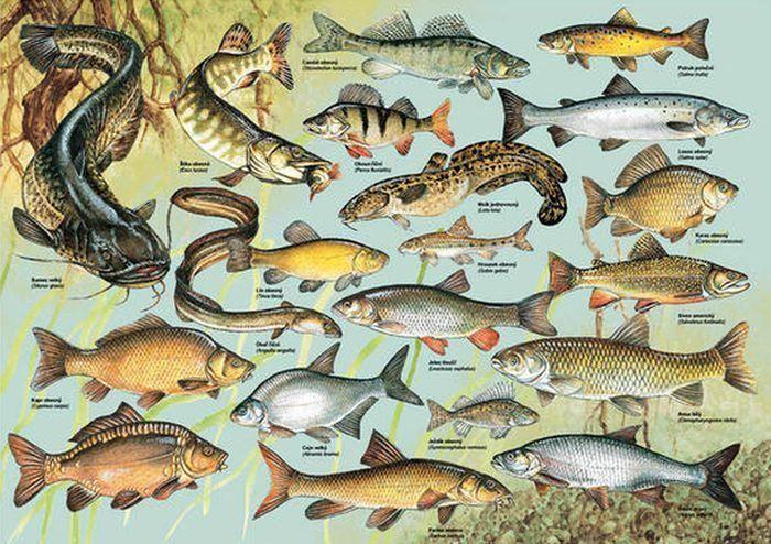Puzzle DINO 1000 dílků - Ryby