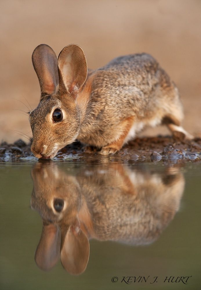 Photo Cottontail Reflection by Kevin J. Hurt, PhD on 500px