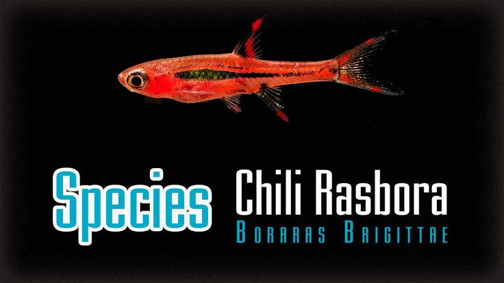 Chili Rasbora or Boraras brigittae now in my RCS tank with ...