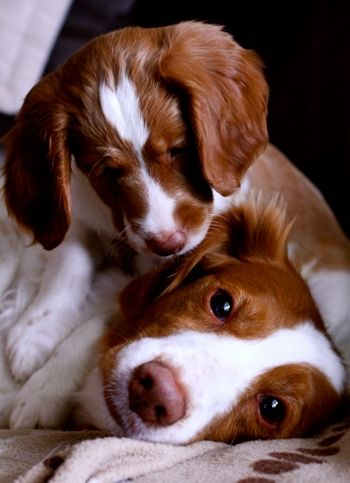 I absolutely love Brittany Spaniels