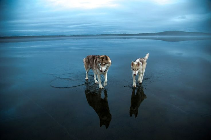 These photos of Siberian Huskies playing on frozen ice (that looks like just water) are really trippy 0_0