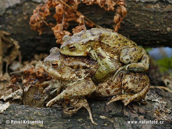 Ropucha obecná (Bufo bufo) - během rozmnožování sedí menší samec na zádech mohutnější samice.
