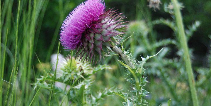 Το γαιδουράγκαθο δεν είναι ιδιαίτερα γνωστό στις ημέρες ημέρες μας, όμως οι ευεργετικές ιδιότητες που παρέχει στην υγεία, εξαιρετικό βότανο