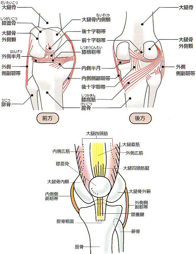 画像:ひざ関節の解剖図-前後