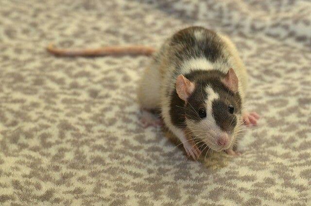 #rat #rats #ratsofinstagram #ratsagram #ratsofig #ratte #ratten #farbratten #ratsofinsta #ratsaspets #petrats #petrat #cute #ratphotography #ratsarecute #ratsareawesome #rats_of_instagram #ratslove #rats4pets #nager #nagetiere #haustier #haustiere #pets #petsofinstagram #petsofig #mypet #lovemypet #lovepeta #instapets