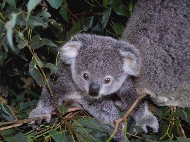 1000 Images About Koala Bears On Pinterest Mom Baby