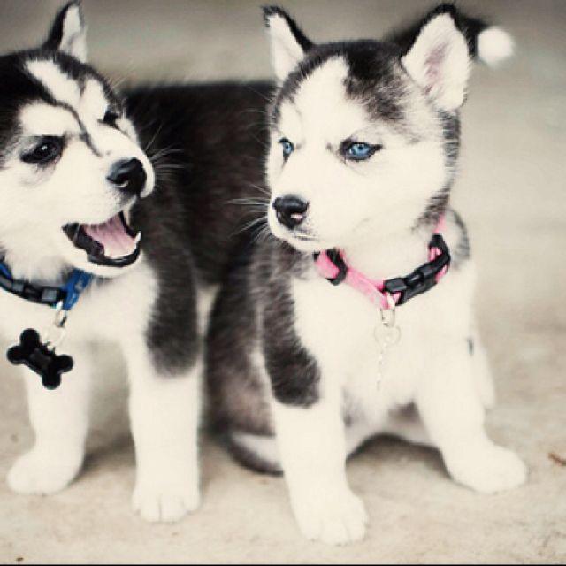 Husky Pups I Want A Puppy