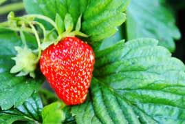 Strawberry Plants for Sale Online | Strawberry Plants .org. Gaviota plants