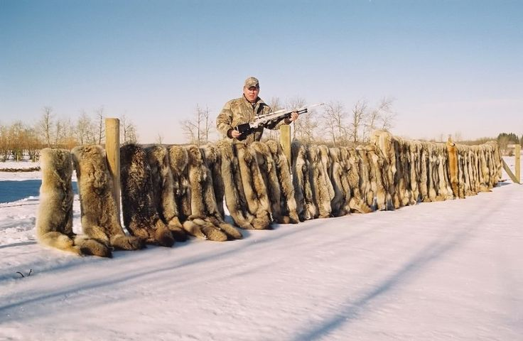 POLL: Should the Alberta coyote hunting contest be stopped? by Supertrooper http://focusingonwildlife.com/news/poll-should-the-alberta-coyote-hunting-contest-be-stopped/