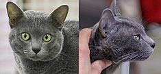 The Korat, cat: (Thai: โคราช, มาเลศ, สีสวาด, rtgs: Khorat, Malet, Sisawat) is a slate blue-gray short-haired breed of domestic cat with a small to medium build and a low percentage of body fat. Its body is semi-cobby, and surprisingly heavy for its size. It is an intelligent and playful active cat that forms strong bonds with people. Among the Korats' distinguishing characteristics is its heart-shaped head and large green eyes.  The Korat is a natural breed, and one of the oldest stable cat…