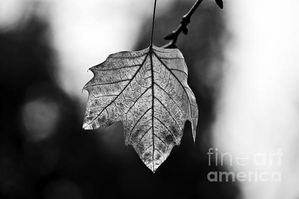 Last Standing Leaf - #Art #FineArt #Photography by Paulo Perestrelo