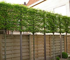 Pleached trees can raise the screened level