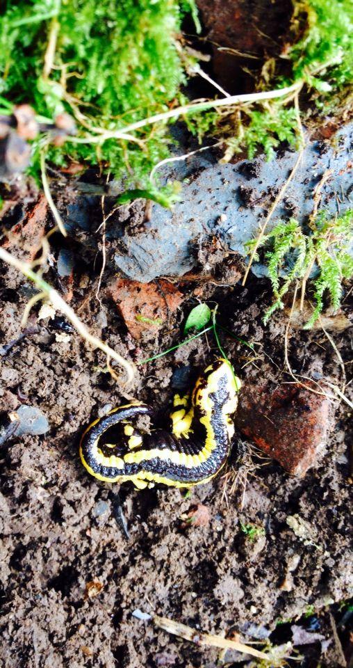La Salamandra es uno de los habitantes de los bosques de Yerbo. Asturias. Spain.