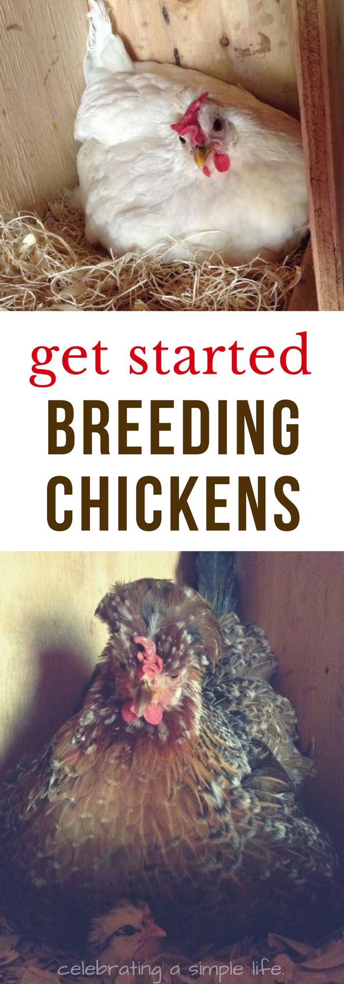 BEST tips for getting started profitably breeding heritage breed chickens!! #chickens #backyardchickens #homesteading #homesteadincome #heritagebreeds