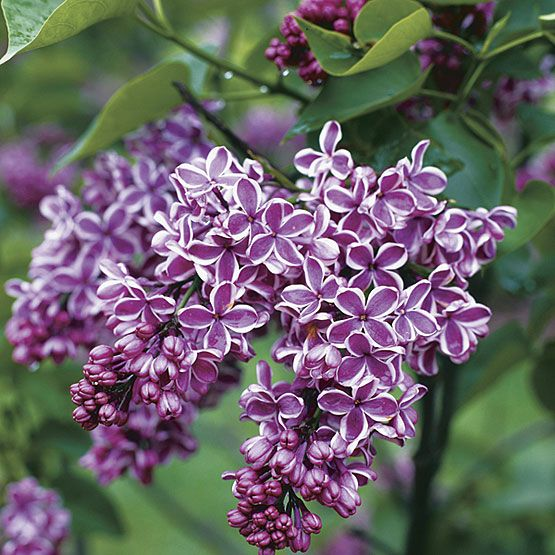 Thanks to the Leonards, we'll have an amazing yard full of lilacs in a few years.