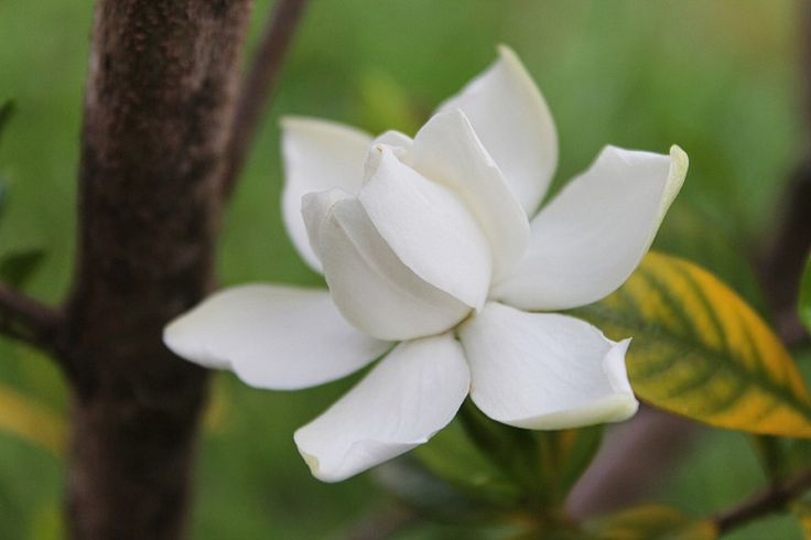 17 Awesome Uses and Benefits of Gardenia Essential Oil - Balance Me Beautiful