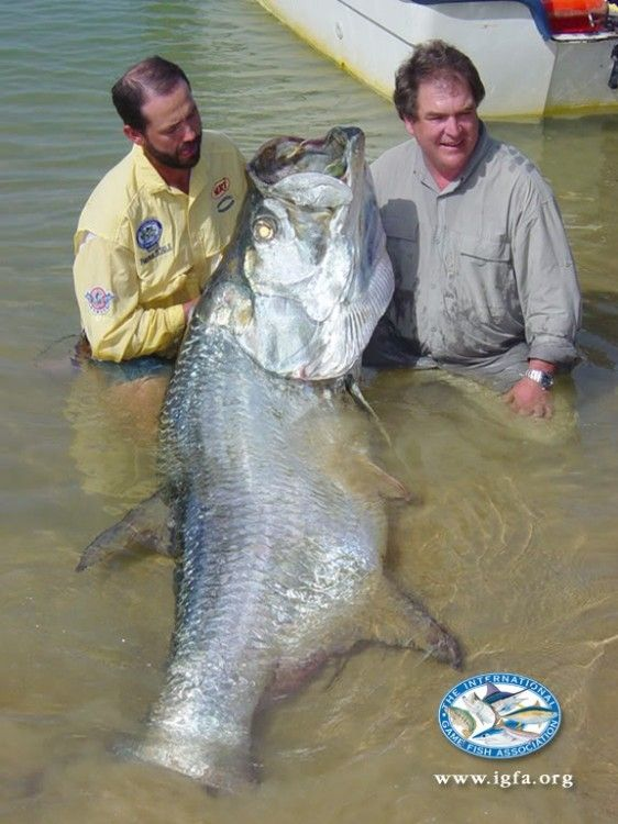 Did Three Anglers Release the Largest Tarpon Ever Caught on Rod-and-Reel? This is the current International Game Fish Association all-tackle world-record tarpon, taken off West Africa in 2003.The guide, at left, by the way, was Patrick Sebile.The fish measured about a foot less than the giant tarpon released off Nicaragua.