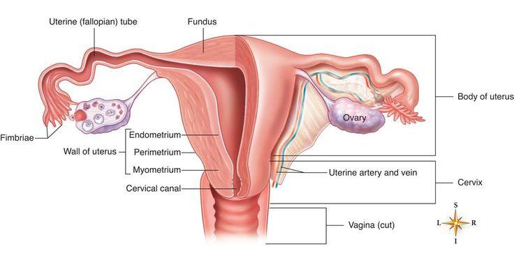 Wk 3 L 2 Uterus Diagram
