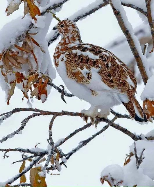 It is amazing how this winter pheasant from somewhere in Europe is sitting on a branch and is camouflaged among the white and brown snowy branches. True Beauty.