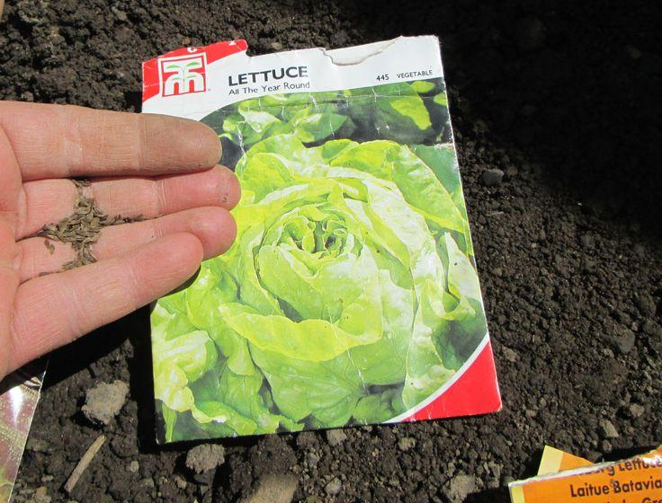 How to Grow Lettuce / Vegetable Garden Tips / Growing Lettuce