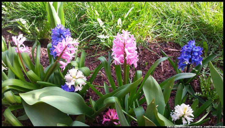 hiacynty - kwiatki ogrodowe, wiosna #kwiaty #flowers #polish flowers #polskie kwiaty #kwiatki #kwiaty ogrodowe #kwiaty polne #kwiaty leśne #przebiśniegi #śnieżyczki #pierwiosnki #kwiaty wiosenne #wiosna #spring #krokusy #przebiśniegi #hiacynty #przyroda #natura #kwiaty wiosenne #spring flowers #polish flowers #Polskie kwiaty