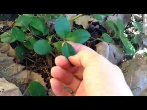 LE Thé des bois (comment le reconnaître et le le cuisiner) - YouTube