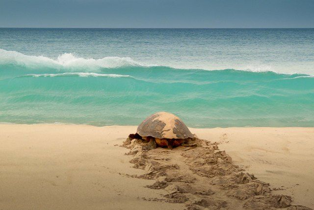 A turtle on Cape Verde islands. Una tortuga en Cabo Verde.