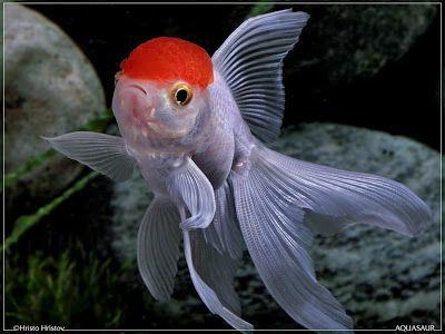 Peixes Ornamentais Brasileiros: Peixe Kinguio
