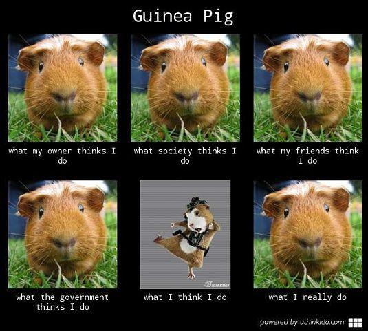 Resultado de imagem para guinea pig funny pictures memes