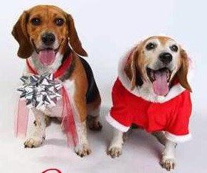 sophie & Beagles! <3  #pinitforpetsmart