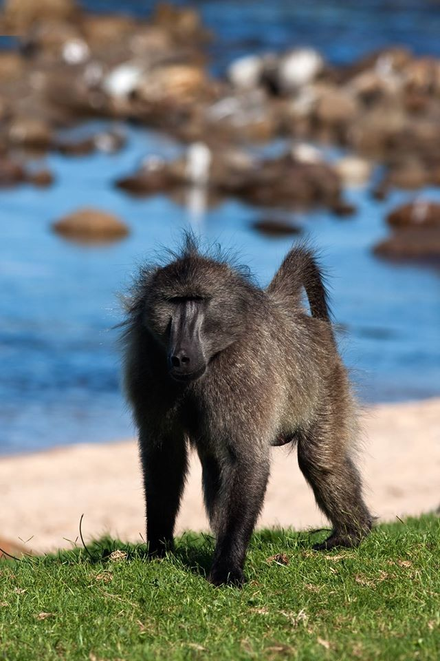 Male Chacma Baboon by Baboon Matters