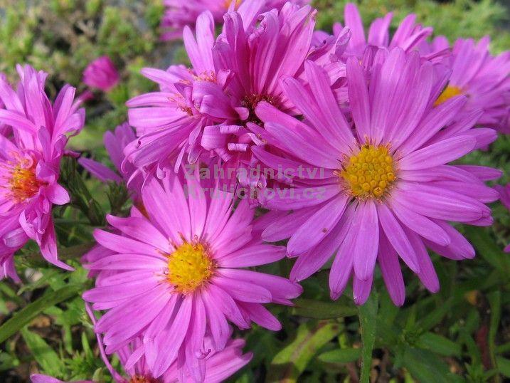 Výška:  30 cm  Květ:  purpurově - fialový, IX. - X.  Výrazně kvetoucí odrůda, která zpestří podzimní trvalkový záhon...