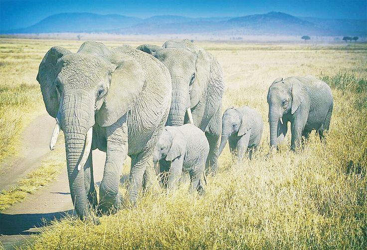 Did you know only 300,000 elephants exist today in the wild? Kind Charity, WildAid, puts all of its efforts in educating people about and helping to protect our gentle giants, and can continue to do so with Kind travelers like you.