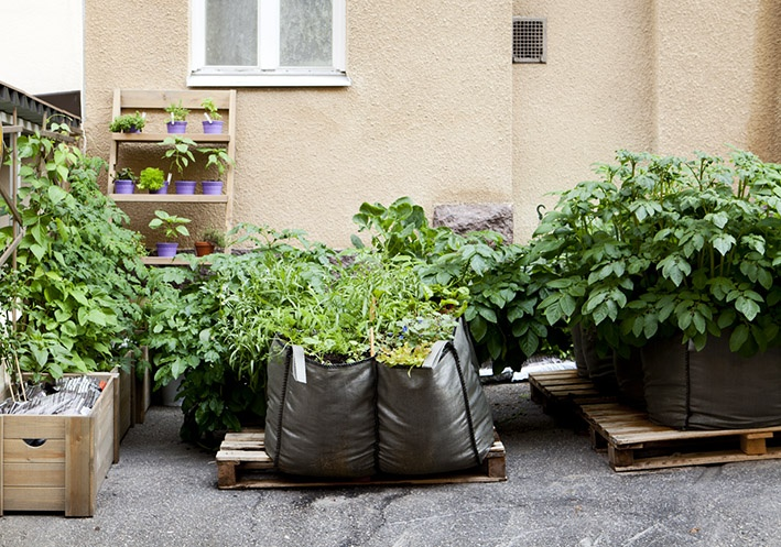 Kaupunkiviljelyä Töölössä