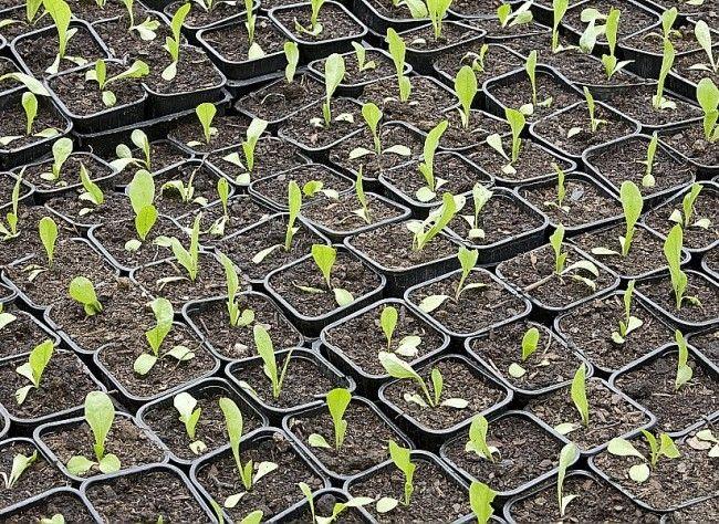Rustica - Calendrier des semis et des récoltes au potager