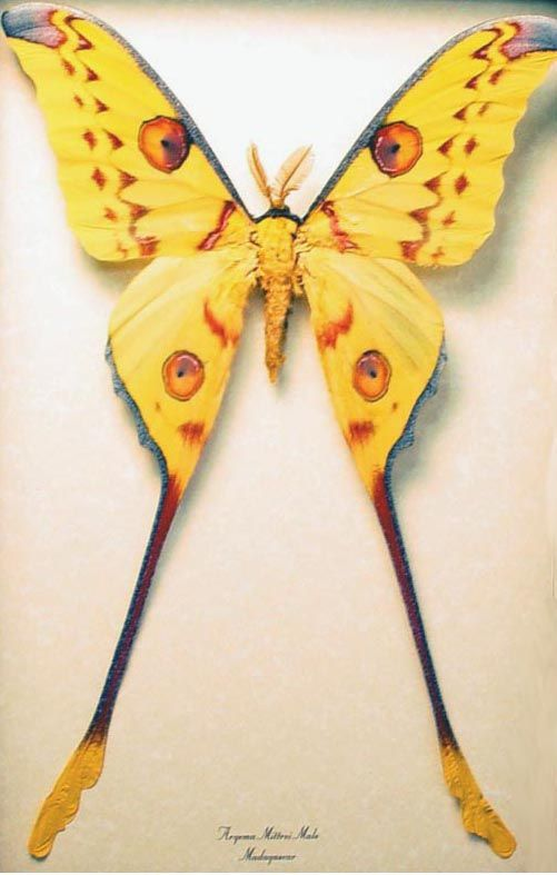Argema Mittrei male Madagascar Moon Moth comet moth long tail luna moth