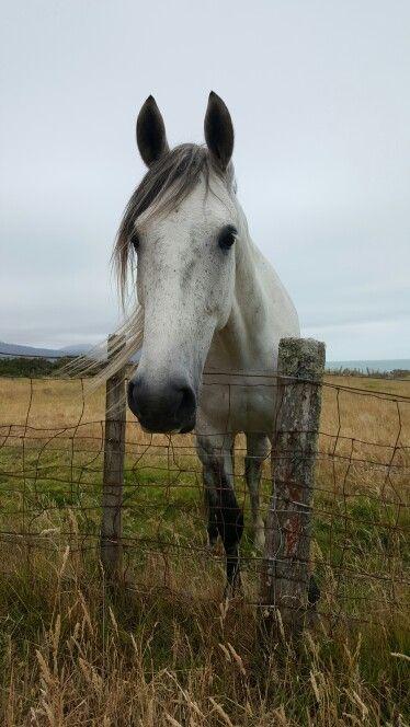 Meeting the locals, wonderful white horse with snowy eyelashes at Waipiro Bay.