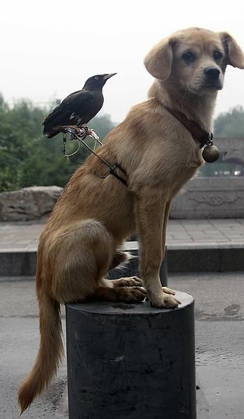 The mynah bird and the dog. The pair are so inseparable their owner has built a perch so the bird can ride around on the dog's back. Owner Qiao Yu says the animals became best friends after being kept in the same room together at his home in Jinan, in northern China's Shandong Province. He says the dog starts barking if anyone tries to approach the mynah. The mynah returns the favour by catching fleas on the dog and combing its hair while it sleeps. Love is love.