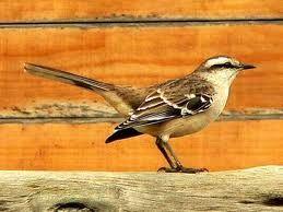 Calandria (Argentina) - local mockingbird